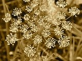 Infiorescenza di aneto / dill flower head