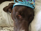 German Shorthair Pointer Birthday, Recipes + More