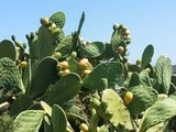 Fichi d' India - the fruity prickly pear