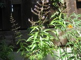 From the Herb Garden: What to Do with Lemon Verbena