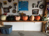A trip to the pumpkin patch & making Pumpkin Puree