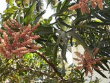 Nature Watch - Mango Mania