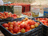 In the tomato farms of Mahra Village – living my childhood days again