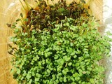 Grow Micro greens without soil