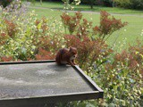 Red squirrel at the Earl Grey Tea House