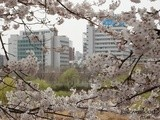 Spring Series: Hangang Yeouido Spring Flower Festival
