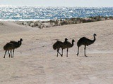 Travel Australia…Lancelin the home of pure white sand…and Ostriches