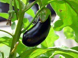 All About Eggplant – Tips For Buying, Storing and Cooking Eggplant