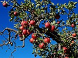 Apple Picking Time in Oak Glen, California: 4 Places to Stop