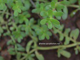 Health Benefits of Brahmi | Uses of Brahmi