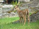 2012 Fawn growing fast, eating all my flowers and bushes