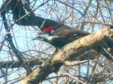 Pileated Woodpecker Visits Our Window Today