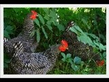 My Girls (yes, i do know they are chickens)