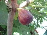 Figs, the Easy to Grow Fruit Tree
