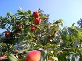 """Pick Your Own"" Fruit Orchards…a Fun Time"